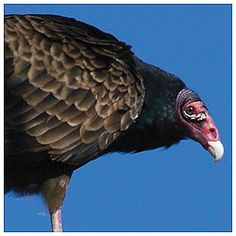 Turkey Vulture at Happy Hollow Park & Zoo San Jose, CA #Kids #Events - Happy Hollow Park & Zoo