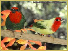 Normal and Pied Red-Headed Parrotfinch