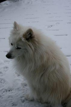 Beautiful dog!  Samoyed/American eskimo