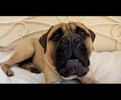 """Angry Bullmastiff Puppy, (at 8 Stone) """"You want some"""" Barking"""