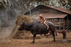 Children sitting on buffalo at countryside. - Asia farmer children sitting on buffalo at country.