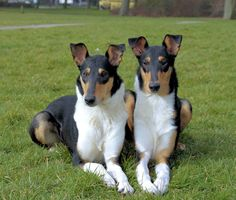 Mabinogion Smooth Collies added a new photo. Big Dogs, I Love Dogs, Dogs And Puppies, Doggies, Rough Collie, Collie Dog, Beautiful Dog Breeds, Beautiful Dogs, Animals And Pets