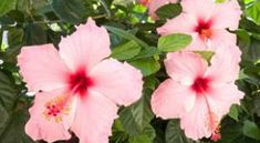 The hibiscus rosa-sinensis is a beautiful evergreen that blooms flowers in various colors. Hibiscus Rosa Sinensis, Hibiscus Plant, Plant Diseases, Texas Star, Plantation, Evergreen, Garden Landscaping, Modern, Bloom