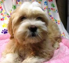If I was close to Fenton, Jingle would have a home. JINGLE 'BELLE' is an adoptable Lhasa Apso Dog in Fenton, MI. If interested in 'BELLE', a 3 month old Lhasa Apso/possible Shih Tzu mix?...spayed 10 pound pup, (pictures taken before her groom) please c...