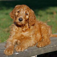 16 Best Irish Doodles Images Puppies Doodle Dog Doodles