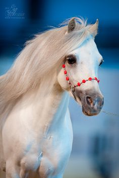 WoW this is a Welch Pony!  Swan - Welsh Jer.  Ermas Idol, h \ in, Hipposphere 2012.