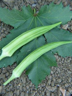 """Sustainable Seed Co. Cow's Horn Okra<p> This heirloom okra dates back to around the civil war. It has a twisted shape that resembles a cows horn. These large pods can reach 14"""" and still stay crunchy, meaty and flavorful. Best picked when 6-7"""" for fried okra. Longer pods are perfect for gumbo.</p>"""
