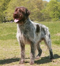 Wirehaired Pointing Griffons are funny and lovable, and they make great family pets. Learn more about Wirehaired Pointing Griffons, including grooming, training, health problems, history, adoption, finding a good breeder, and more.