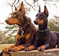 Doberman Pinscher Spaniel Terrier Dog Photography Puppy Hounds Chien Puppies Pup Dobie Pincher