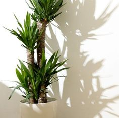 plants Interieur yucca - These 30 Indoor Plants Are Almost Impossible to Kill Yucca Plant Indoor, Indoor Tree Plants, Trees To Plant, Indoor Garden, Potted Plants, Corner Plant, Cast Iron Plant, Chinese Money Plant, Pothos Plant