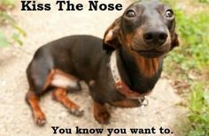 Kiss the nose - Gustav's Dachshund World and Friends