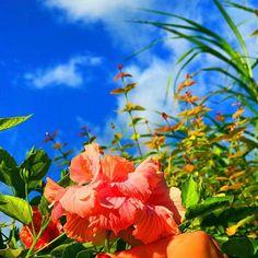 【mamyyyyyyyyyyyy】さんのInstagramをピンしています。 《八重のピンクハイビスカス🌺✨💝 𓇼 𓇼 𓇼 #japan #igで繋がる空 #sky #okinawa #ig_daily #today #海 #空 #beach #空好きな人と繋がりたい #快晴 #沖縄 #ダレカニミセタイソラ #ダレカニミセタイ宮古島 #OLYMPUS #オリンパス #カメラ女子 #カメラ好きな人と繋がりたい #宮古島 #ハイビスカス #花 #flower》