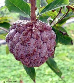 Annona squamosa, Sugar apple, Custard Apple
