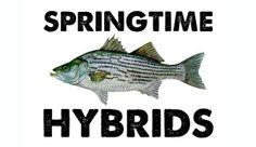 Springtime Hybrids kayak fishing techniques