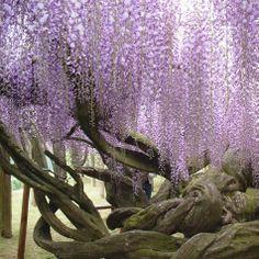 Heavenly Japanese Kawachi Fuji Garden...