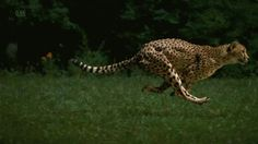 Amazing high definition footage of cheetah's reaching 60 mph show the sprint-king of the jungle's effortless speed Running Drawing, Running Gif, Wildlife Photography, Animal Photography, Animals Beautiful, Cute Animals, Wild Animals, Cheetah Tattoo, Animal Movement