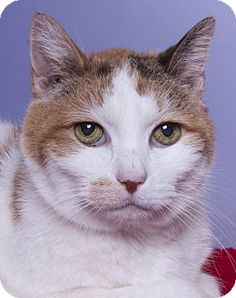 Chicago, IL - Domestic Shorthair. Meet Isabelle, a cat for adoption. http://www.adoptapet.com/pet/15904018-chicago-illinois-cat