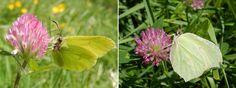 Citroenvlinders: geel mannetje links en groenig vrouwtje rechts