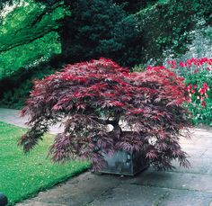 Acer palmatum Dissectum Garnet. Japanese Maples are a must have ornamental garden plant and provide excellent shelter for wildlife when planted near a pond. Synonymous with the highly artistic oriental garden cultivated in Japan, these are ideal for patio containers or in the border as their roots are compact and non-invasive. Will perform best in partial shade but can tolerate full sun, needing extra moisture in summer if in a very dry location.