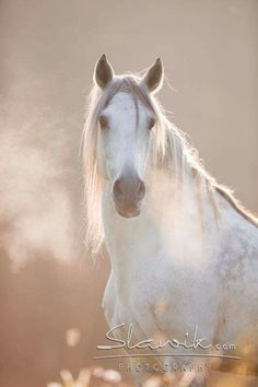 beautiful gray in the mist.... Big Horses, Horses And Dogs, White Horses, Horse Love, Animals And Pets, Cute Animals, Most Beautiful Horses, All The Pretty Horses, Horse Photos