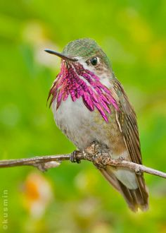 calliope hummingbird (stellula calliope) by punkbirdr on Flickr*