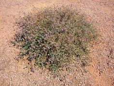 Trailing Dalea, Dalea greggii. Also Called: Trailing Indigo Bush, Trailing Smoke Bush, Gregg's Dalea, Gregg's Prarie Clover, Prostrate Dalea. Xeriscape Landscaping Plants For The Arizona Desert Environment.  Pictures, Photos, Information, Descriptions, Images, & Reviews. Groundcovers.