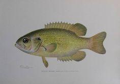 vintage denton fish print rock bass ambloplites rupestris