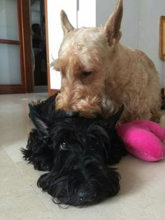 Mr. Wiggles give his sister Miss Pickles a little kiss. ( Owner Jane Tan - For the Love of Scotties )