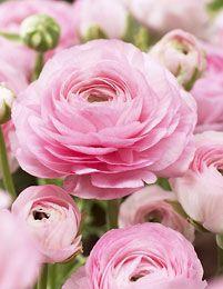 Ranunculus asiaticus, pink