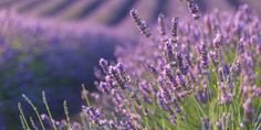 14 Things Every Lavender Lover Should Know  - HouseBeautiful.com