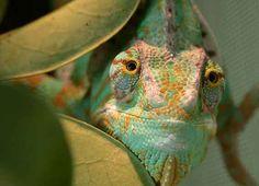 Veiled Chameleons.  I have two.  Amazing creatures!
