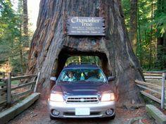 Conduzca a través de una secoya gigante en el norte de California.