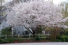 Yoshino Cherry Prunus yedoensis