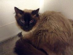 Meet Tommy, a Petfinder adoptable Domestic Medium Hair Cat | Rock Falls, IL | Tommy was rescued from a kill shelter. He is a beautiful Long Haired Siamese. He can be shy at...