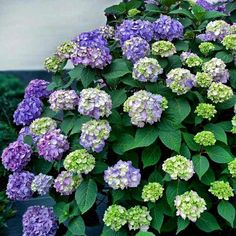 Is #LaborDay symbolic of the end of summer? Keep the good times rolling with our Bloomstruck Endless Summer #Hydrangea! This beauty blooms on old and new growth constantly pushing out new flower heads measuring 3-5'' across. TIP: Depending on your soil pH level it can be pink purple or blue. (zones 4-8)