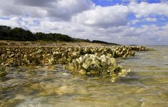 """Exposed by low tide, a towhead reef live oysters, crucial to the health of bay systems.  pokes from Matagorda Bay along the shoreline of Powderhorn Ranch. The """"bluff"""" behind the oysters is covered with part of the 3,500 acres of rare,  mature coastal live oak forest found on the 17,300-acre tract slated to become a state park and wildlife managment area.  Houston Chronicle photo by Shannon Tompkins"""