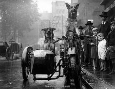 A bemused crowd stop to watch a pair of Alsatians driving a motorcycle and sidecar