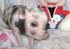 I want this pig!!