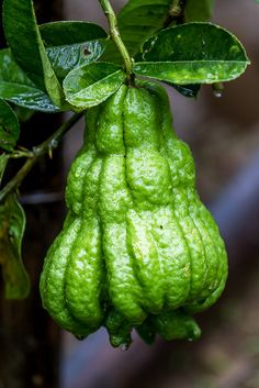 A ripening fruit of Buddha's-Hand 佛手柑 [ Citrus medica var. sarcodactylis] - Flickr - Photo Sharing!