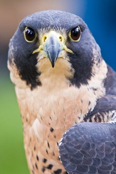 Birds ©: Peregrine Falcon (by dkwynia). All Birds, Little Birds, Birds Of Prey, Love Birds, Pretty Birds, Beautiful Birds, Animals Beautiful, Regard Animal, Animals And Pets