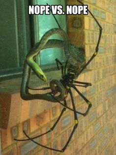 Funny pictures about Banana Spider Eating A Snake. Oh, and cool pics about Banana Spider Eating A Snake. Also, Banana Spider Eating A Snake photos. Reptiles, Mammals, Spider Eating, Meanwhile In Australia, Oh Hell No, Funny Memes, Hilarious, Funniest Memes, Snakes