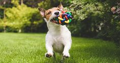 Find Jack Russell Terrier Dog Running Colorful stock images in HD and millions of other royalty-free stock photos, illustrations and vectors in the Shutterstock collection. Thousands of new, high-quality pictures added every day. Jack Russells, Pitbull, Animal Behavior College, Greenfield Puppies, Pet Resort, Walking, Terrier Dogs, Terriers, Jack Russell Terrier