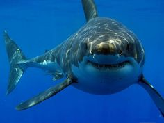 il sorriso dello squalo bianco!