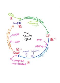 Simple diagram of the Calvin Cycle (the light independent reaction of photosynthesis)