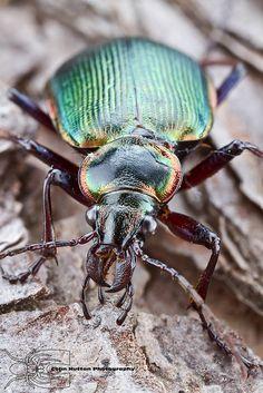 Caterpillar hunter - Calosoma wilcoxi