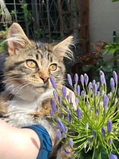 Isabel Maine Coon