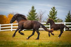 Daily Dose - February 9, 2016 - Before the Storm - Friesian Horse and Gypsy Vanner Foal  2016©Barbara O'Brien Photography
