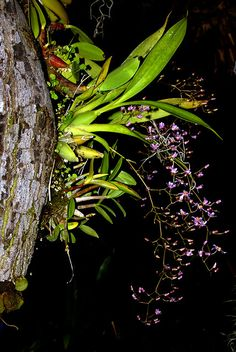 Orchids mounted on an avocado branch. From bottom to top is Dendrobium Delicatum 'Rosminah Brown', Oncidium ornithorhynchum (blooming) and Dendrobium speciosum var. hillii 'Don Brown'. All of them are great for outdoor growing.