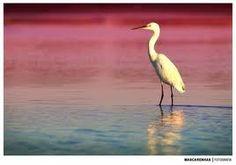 fauna marinha- Garça carraceira