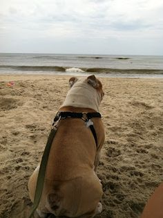 American Bulldog hanging out on the beach on the Outer Banks of North Carolina.